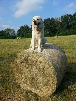 Dog, White Dog, White, Sitting, Hay, Grass, Summer