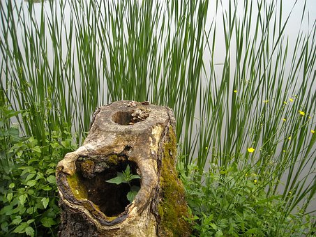 Wood, Billet, Stump, Reed, Lake, Nature