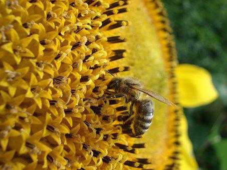 Bee, Nature, Flower, Sun Flower, Honey, Insect, Yellow