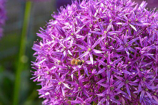 Allium, Ornamental Onion, Garden Plant, Blossom, Bloom
