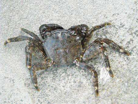 Crab, Arthropoda, Animal, Nature, Arthropods
