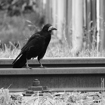 Raven, Track, Bird On Rails, Black Bird