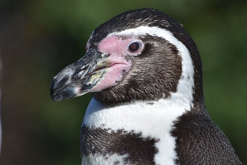 Penguin, Swim, Bird, Clean, Funny, Booked, Animal