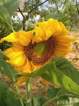 Sunflower, Garden, Yellow, Plant, Nature, Summer, Bloom