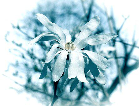 Blue Star Magnolia, Filter, Magnolia, Tree, Plant