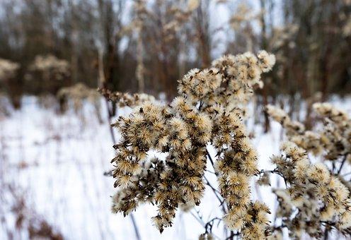 Dry Flowers, Plant, Winter, Dry, Macro, Snow