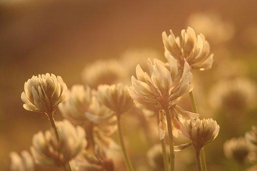 Clover, Flower, Plant, Nature, Summer, Floral