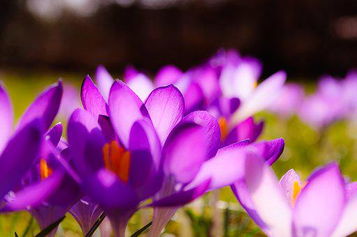Crocus, Purple, Yellow, Grass, Grasses, Spring, Flower