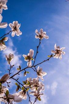 Magnolia, Flowers, Spring, Bud, Tree, Pink, Full Bloom