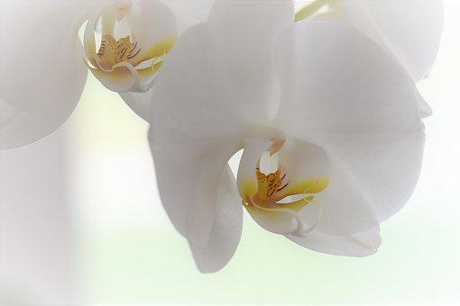 Orchid, Flower, Blossom, Bloom, Plant, Nature, White