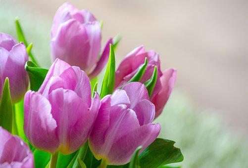 Tulips, Early Bloomer, Spring, Blossom, Bloom, Flower