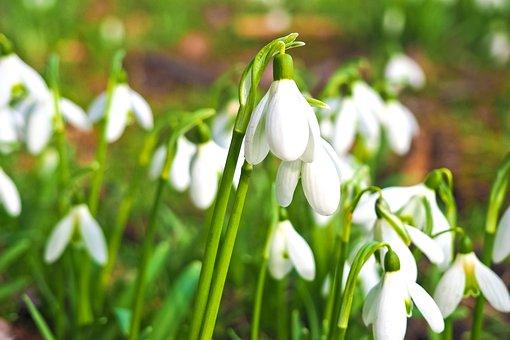 Snowdrop, Flower, Spring, Nature, White, Close, Plant