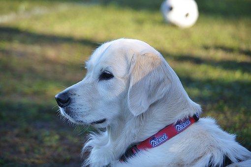 Dog, Golden Retriever, Pet, Canine, Animal, White