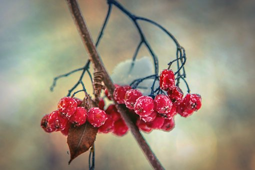 Rowan, Winter, Snow, Berry, Red, Cluster, Nature