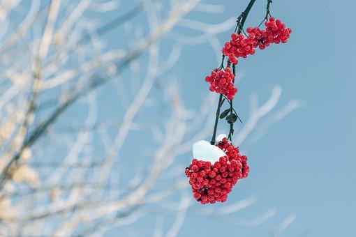 Rowan, Branch, Winter, Snow, Nature, Cluster