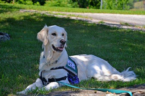 Service Dog, Dog, Golden Retriever, Care, Purebred