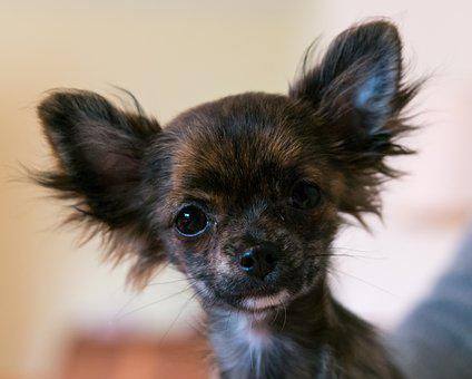 Chihuahua, Dog, Puppy, Baby, Face, Portrait, Young