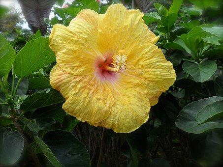 Flower, Hibiscus, Yellow