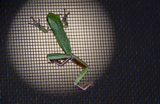 Frog, Green, Tiny, Fly Screen, Black, Night, Native