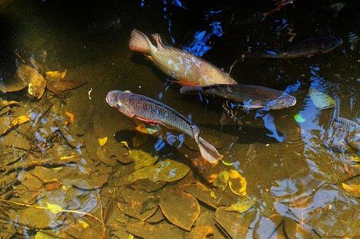 Fish, Pond, Marine Nature, Nature, Animals, Water, Pool