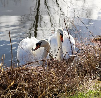Swans, Birds, Canal, Nature, Wildlife, White, Water