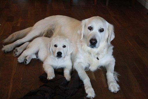 Golden Retriever, Friendship, Pet, Puppy, Mother
