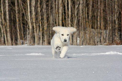 Golden Retriever, Puppy, Running, Snow, Play, Playful