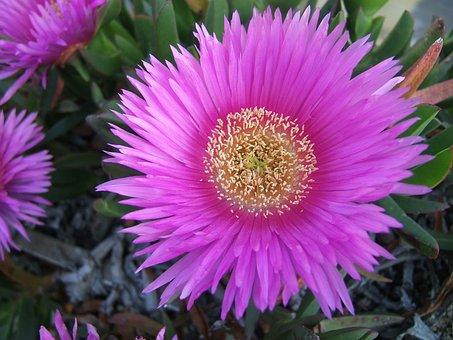 Flower, Leaves, Sea, Spring, Succulent, Sun, Violet