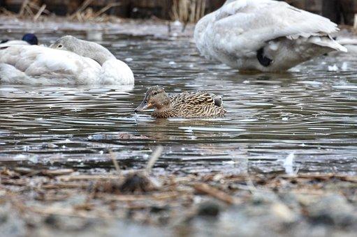 Animal, Duck, Waterfowl, Wild Birds, Wild Animal, Water