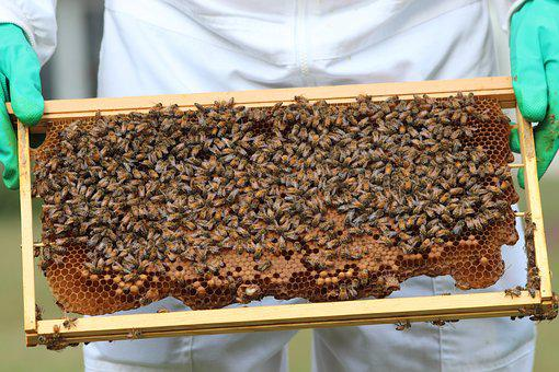 Bees, Honeybees, Honey, Pollinate, Pollination