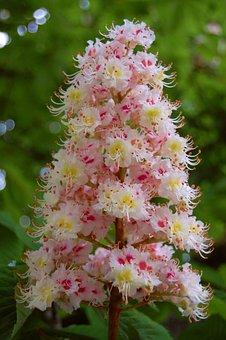 Chestnut, Blossom, Bloom, Chestnut Leaves, Tree, Nature