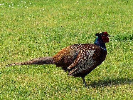 Pheasant, Bird, Plumage, Colorful, Species, Males, Hahn