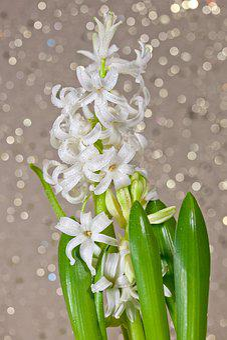 Hyacinth, Flower, Flowers, Spring, Bokeh, Aroma, Bloom