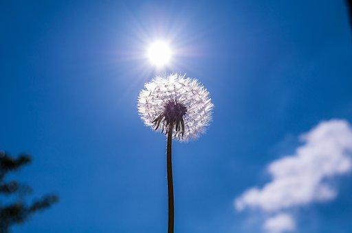Dandelion, Flower, Plant, Nature, Pollen, Wild Flower