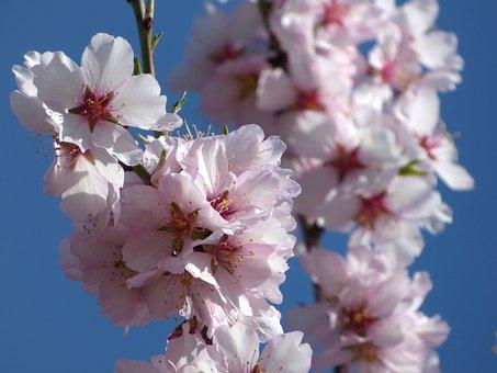 Almond Tree In Blossom, Flowery Branch, Flowers, Florir