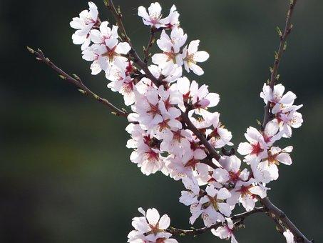 Almond Flower, Almond Tree In Blossom, Flowery Branch