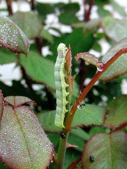 Caterpillar, Branch, Green Caterpillar, Rose Bush