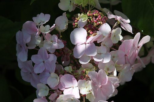 Hydrangea, Shrub, Plant, Bush, Pink, Bloom, Garden