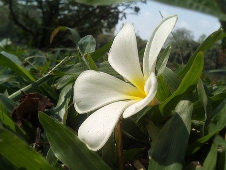 Flowers, Frangipani, Fragrapanti, White Flowers, Plant