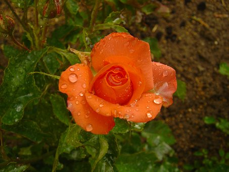 Flowers, Roses, Orange Roses, Rain Droplets