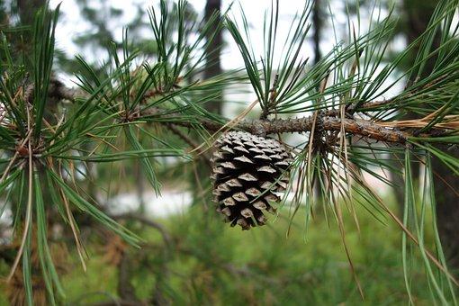 Pine Cone, Pine, Wood