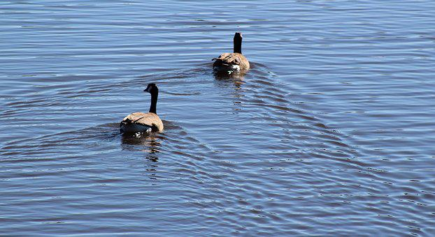 Water, Duck, Ducks, Feather, Brown, Blue, Angle
