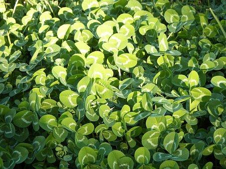 Clover, Meadow, Green, Lawn