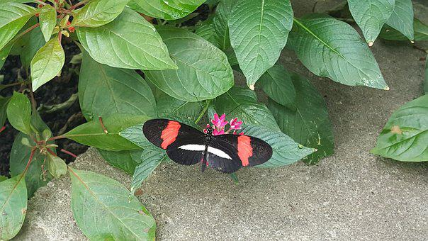 Longwing Butterfly, Nature, Butterfly, Heliconius