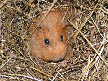 Guinea Pig, Animal, Straw, Cute, Rodent, Nager