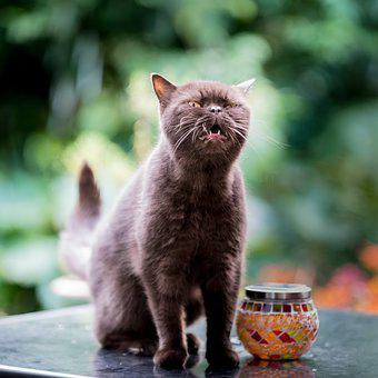British, Shorthair, Cat, Cute, Pet, Animal, Domestic