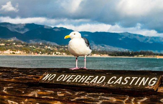Seagull, Santa Barbara, Pear, Barbara, Santa, Sea
