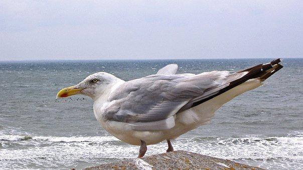 Seagull, Sea, North Sea, Surf, Flood, Seevogel, Bird