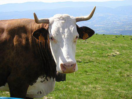 Cow, Haute-savoie, Semnoz, Bell, Meadow, Spring