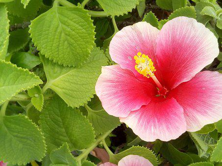 Hibiscus, The Pink Flowers, Flowers, Chaba, Pink
